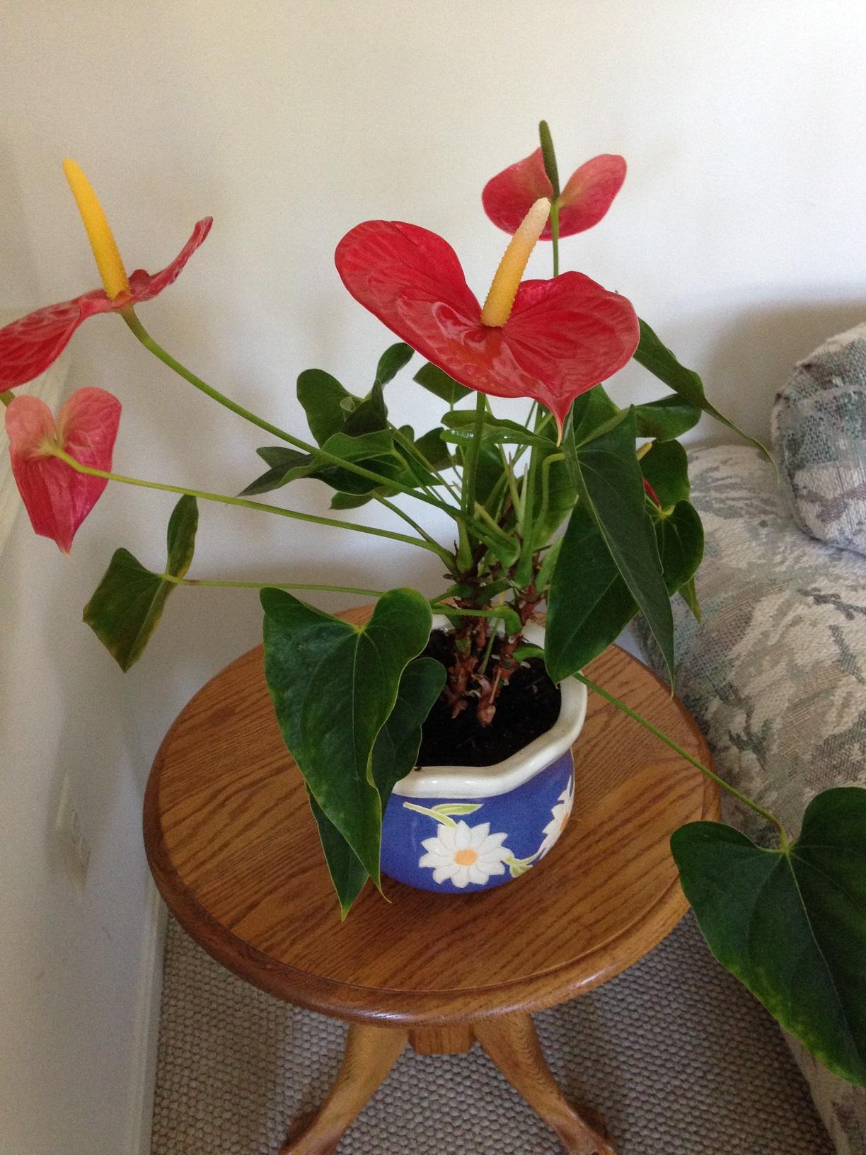 Anthurium Plant Photo