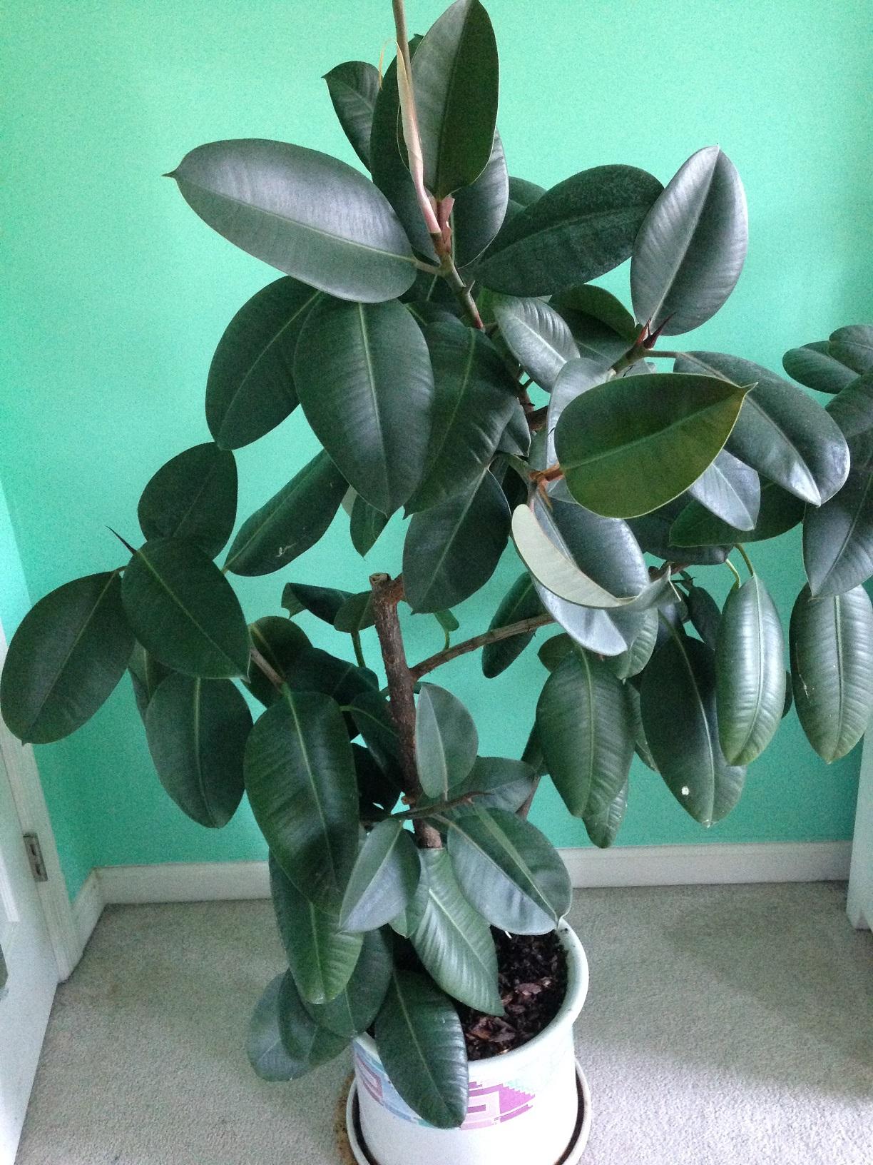 Rubber Plant Photo